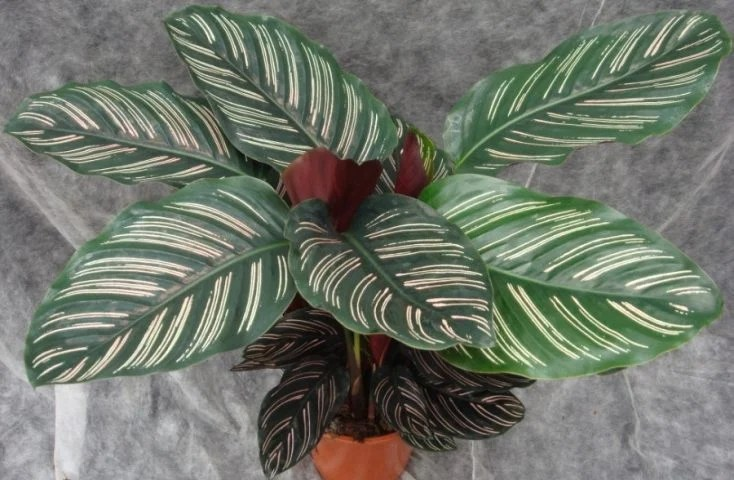 How To Care For Calathea Ornata Pinstripe Plant Smart Garden Guide