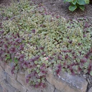 Week 10 – Love Me Some Bugleweed