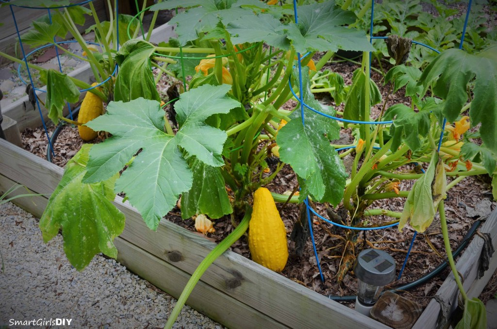 squash growing in raised beds