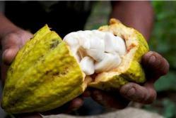 Cacao-Pod-Split-Open