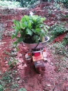 Transporting Cocoa Saplings to Farm