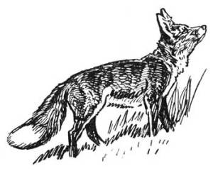 39 HOW THE COON OUTWITTED THE FOX