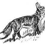 HOW THE COON OUTWITTED THE FOX – Stories the Iroquois Tell Their Children by Mabel Powers