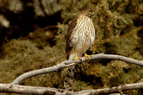 01 Coopers Hawk