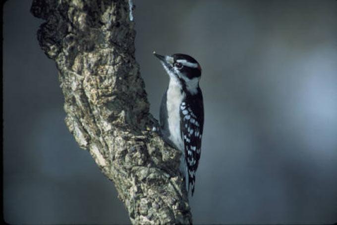 01 Downy woodpecker