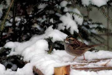 01 Whitethroated sparrow