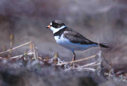 SEMIPALMATED PLOVER – Birds Information for Kids