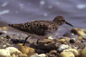 02 Birds for Kids LEAST SANDPIPER