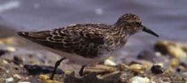 Birds for Kids – LEAST SANDPIPER