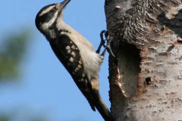 02 Hairy woodpecker