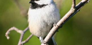 04 Black Capped Chickadee