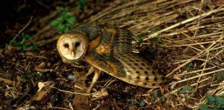 05 Barn Owl