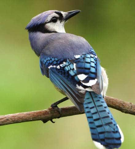 05 Blue Jay