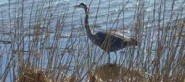 GREAT BLUE HERON – Birds for Kids