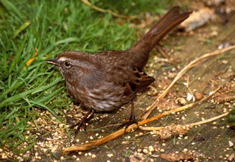 SONG SPARROW – Birds for Kids