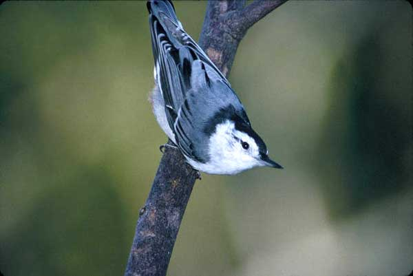 WHITE-BREASTED NUTHATCH – Birds for Kids