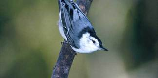06 WHITE BREASTED NUTHATCH