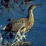 AMERICAN BITTERN, Stake-driver, Booming Bittern, Indian Hen – Birds for Kids