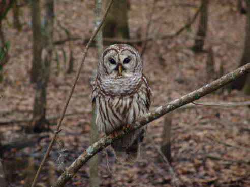 07 Barred owl
