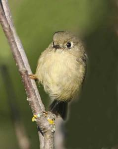 Read more about the article RUBY-CROWNED KINGLET – Birds for Kids