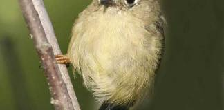 07 RUBY CROWNED KINGLET