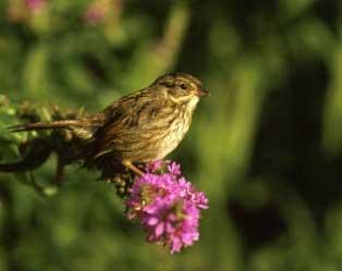 07 Swamp Sparrow