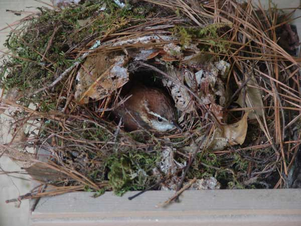 09 Carolina wren nest