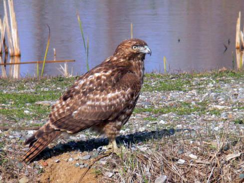 10 Redtailed hawk