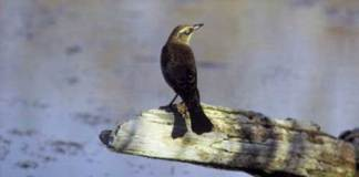 10 Rusty Blackbird