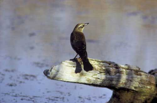 10 Rusty Blackbird