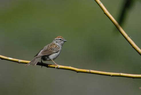 CHIPPING SPARROW – Birds for Kids