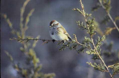 TREE SPARROW – Birds for Kids