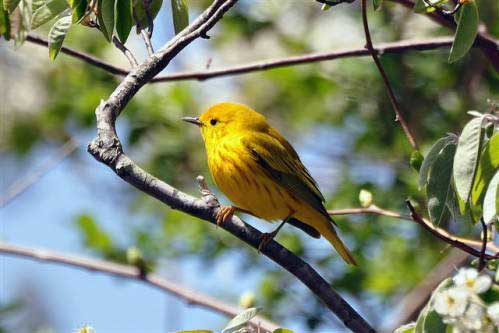 YELLOW WARBLER – Birds for Kids