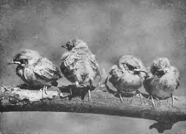 14 OVEN BIRD 02