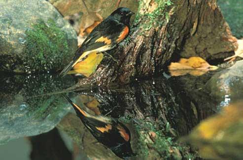 16 American Redstart
