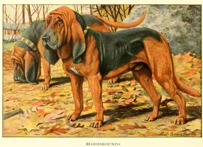 bloodhound dog - information about dogs