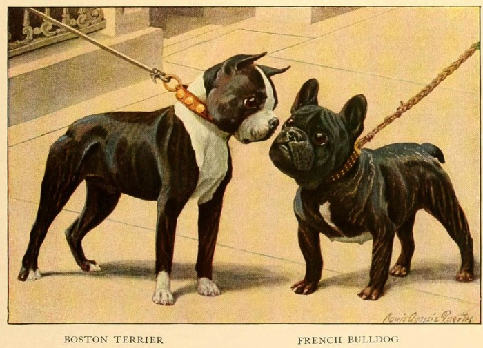 boston terrier french bulldog - information about dogs
