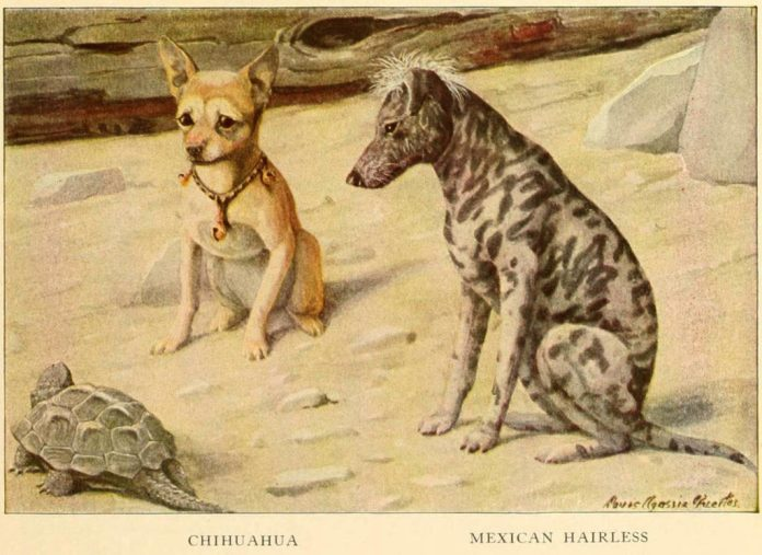 chihuahua dog mexican hairless dog - information about dogs