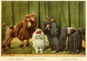 Read more about the article POODLE DOG BREED – Information About Dogs