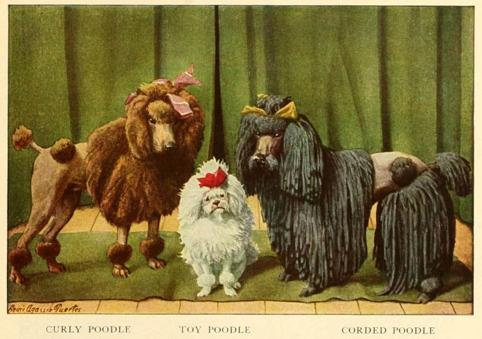curly poodle toy poodle corded poodle - information about dogs