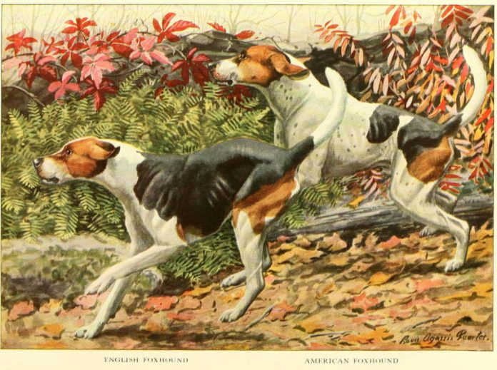 english foxhound american foxhound - information about dogs