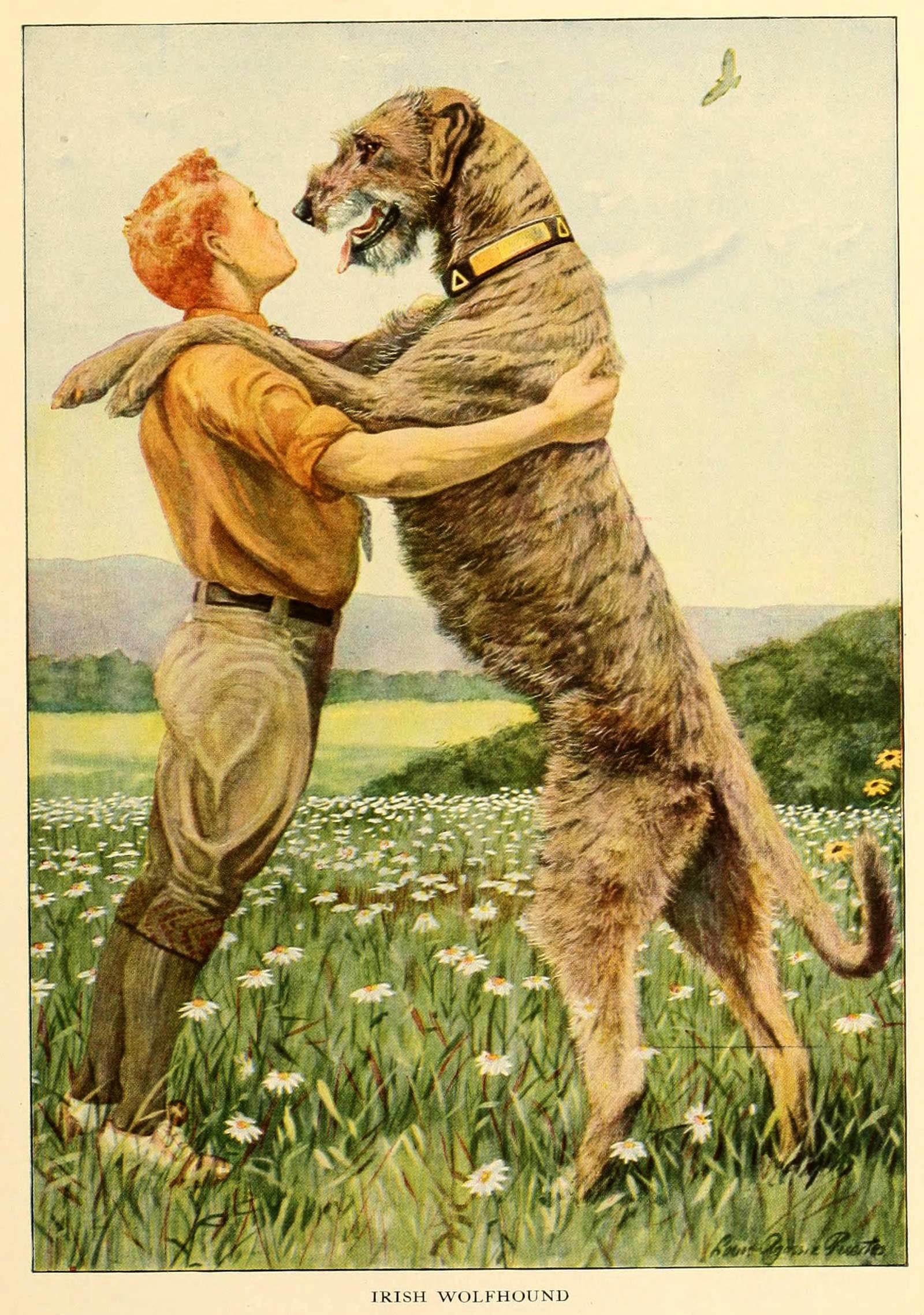 Irish Wolfhound – Information About Dogs