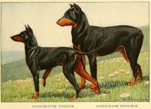 Read more about the article MANCHESTER TERRIER – BLACK AND TAN TERRIER – Information About Dogs