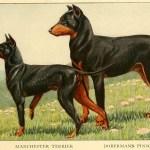 DOBERMAN PINSCHER DOG – Information About Dogs