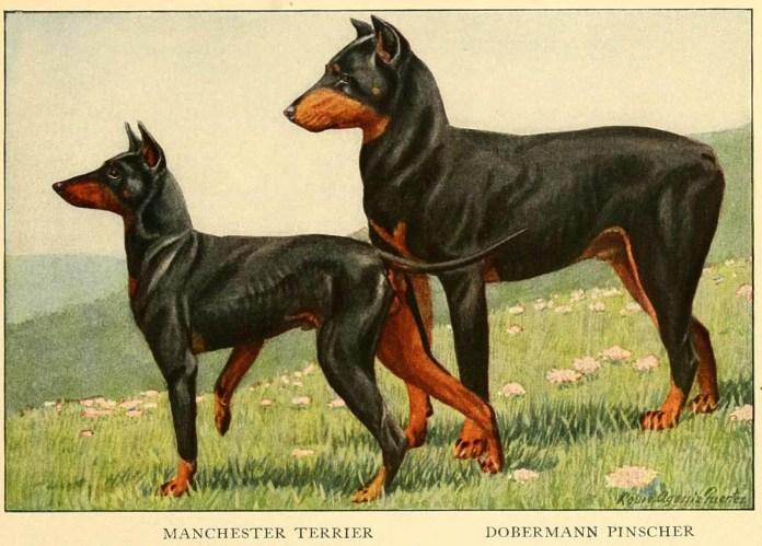 manchester terrier dobermann pinscher - information about dogs