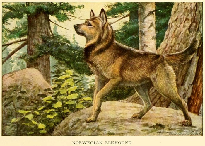 norwegian elkhound - information about dogs