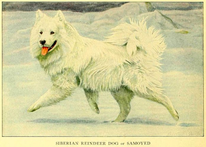 samoyed siberian reindeer dog - information about dogs