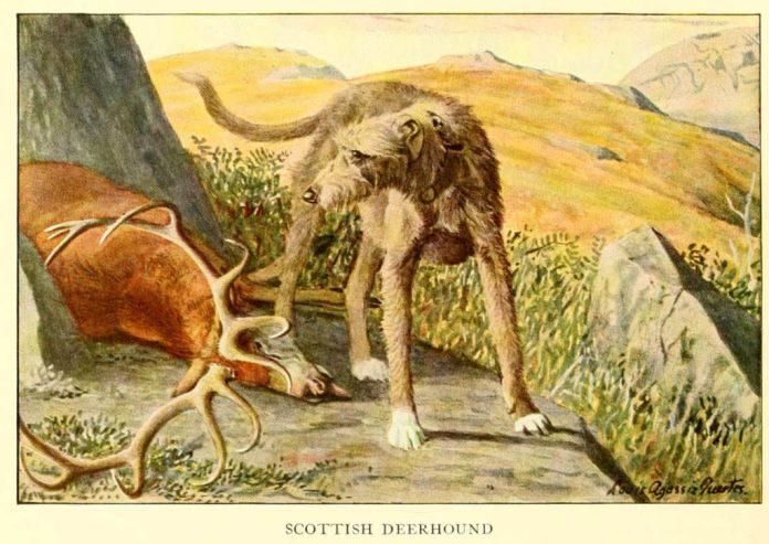 scottish deerhound - information about dogs
