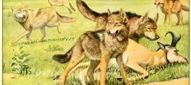 Wolves And Coyotes – Information About Dogs
