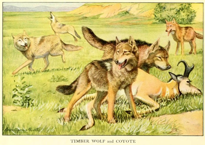 timber wolf and coyote - information about dogs